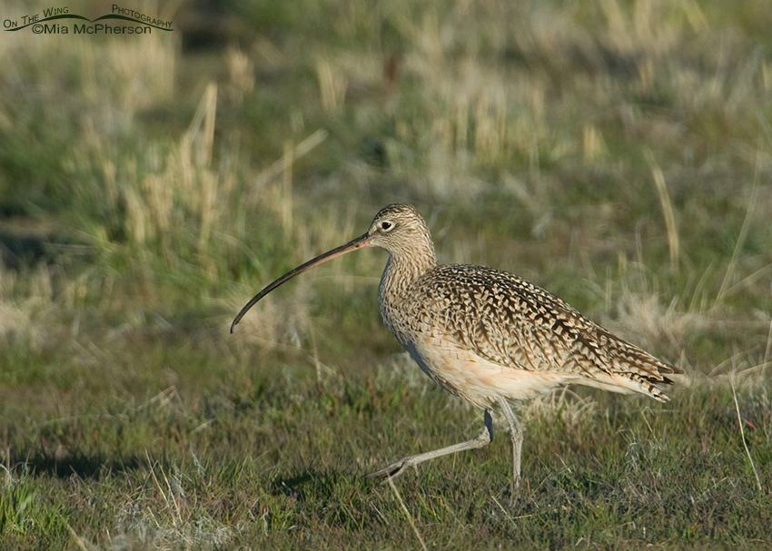 Long-billed Curlew in prairie grasses, Utah