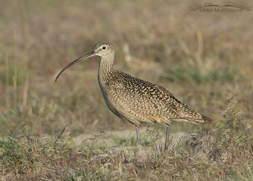 Male Long-billed Curlew in Cheatgrass