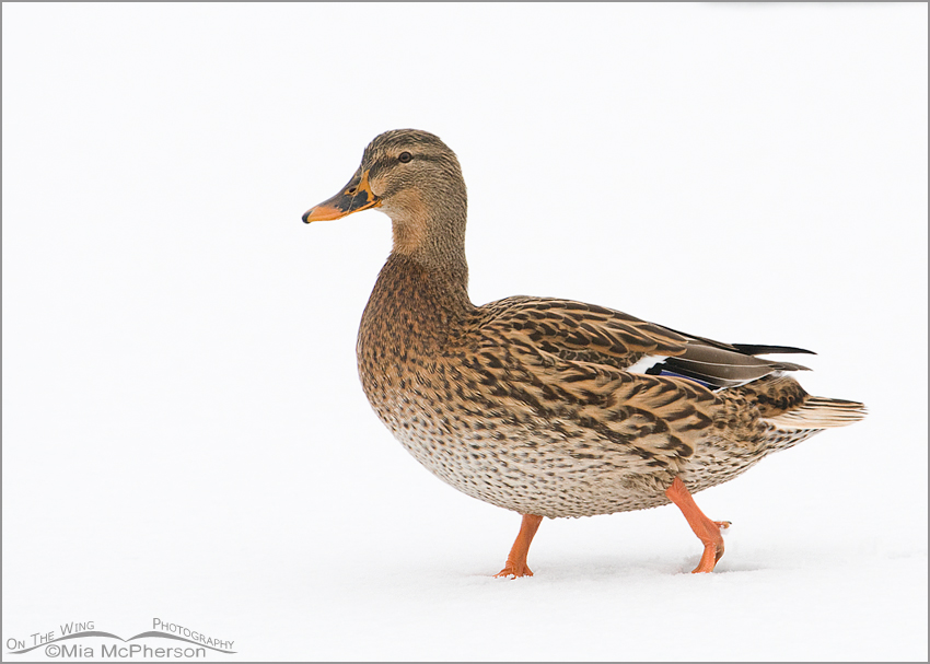 High key Mallard (Anas platyrhynchos) on snow
