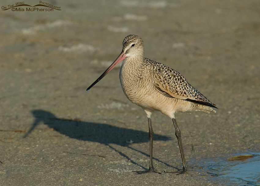 Marbled Godwit and shadow