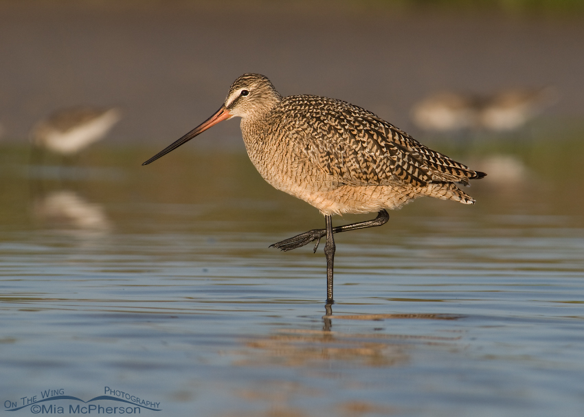 Marbled Godwit standing out from the crowd