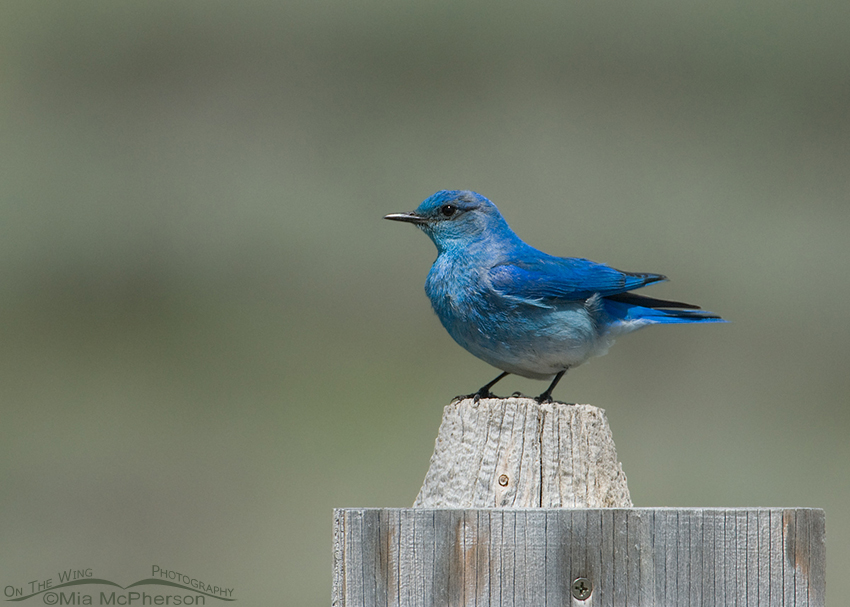Male Mountain Bluebird, Red Rock Lakes NWR, Montana