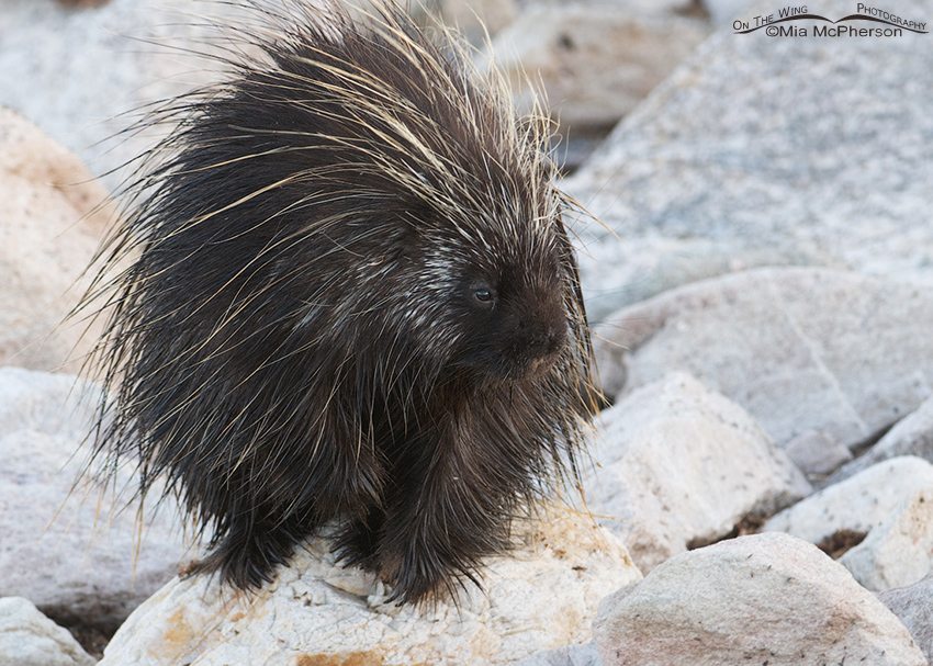 North American Porcupine on the shore of the Great Salt Lake