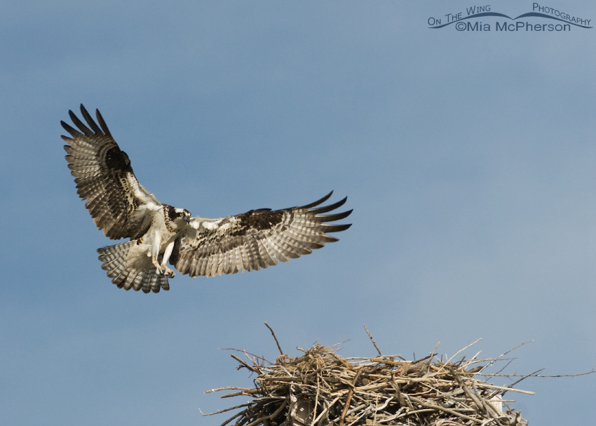 Female Osprey Landing on nest