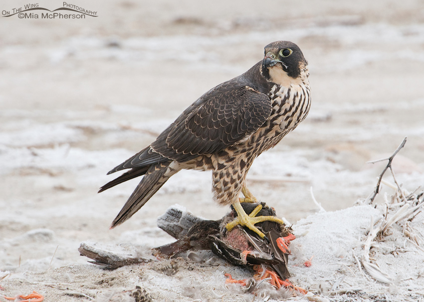Peregrine Falcon on top of prey