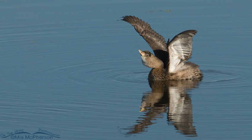 Pied-billed Grebe Wing Lift