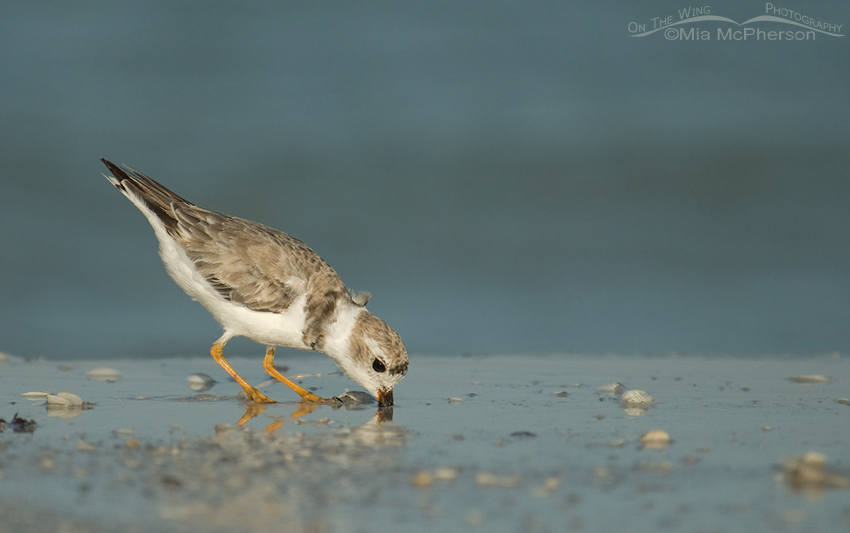 Feeding Piping Plover (Charadrius melodus)