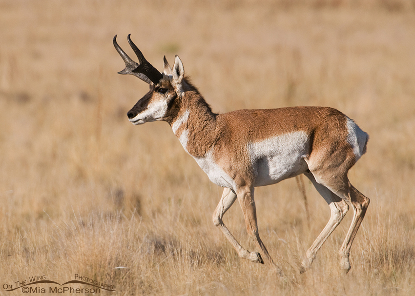 Pronghorn buck chasing his does