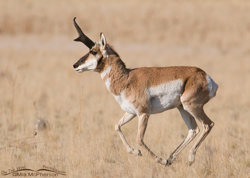 The Pronghorn are in rut on Antelope Island SP – Mia ...