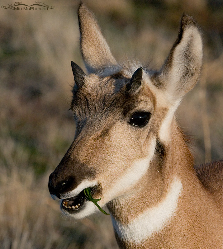 Young Pronghorn Buck