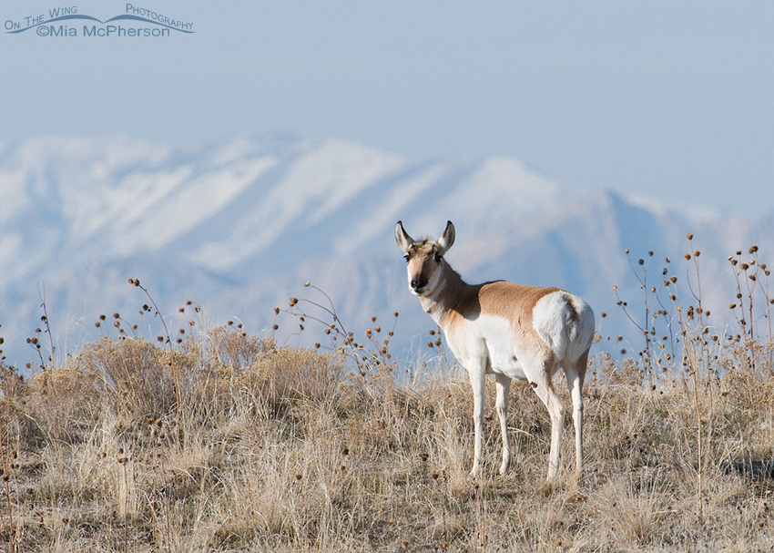 Pronghorn Doe on a hilltop