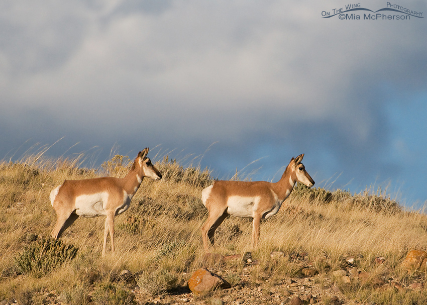 Pronghorn does on a hilltop at sunset