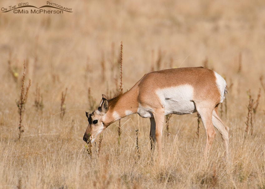 Pronghorn yearling nibbling on Mullein