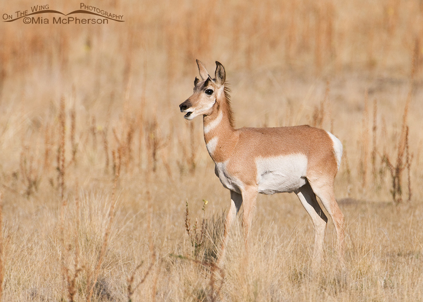 Pronghorn yearling