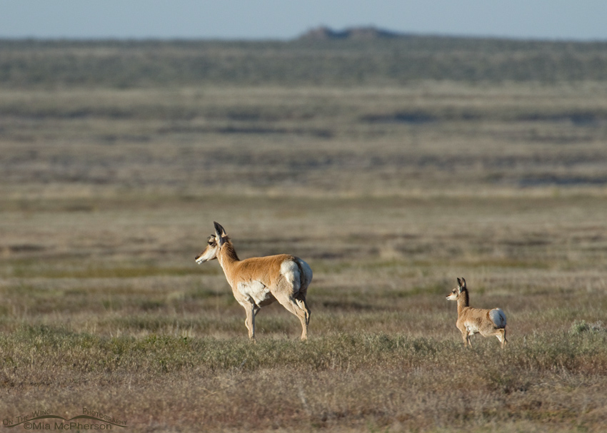 Pronghorns on the flats of the West Desert