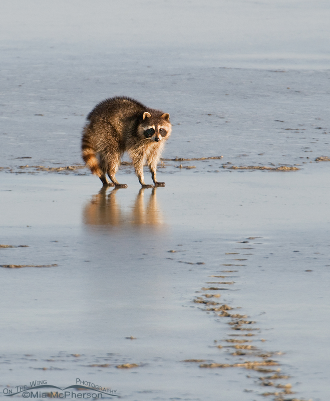 Raccoon on the mudflats