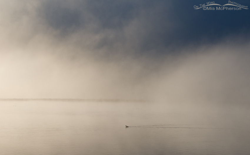 Solitary Coot in the morning mist of the Lower Lake