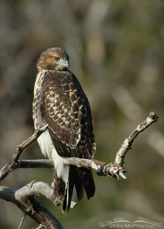 Juvenile Red-tailed Hawk perched on a branch in a canyon