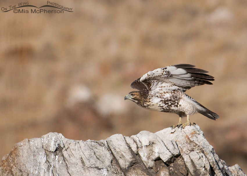 Red-tailed juvenile lifting off