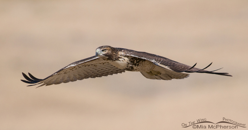 Red-tailed Hawk gliding past