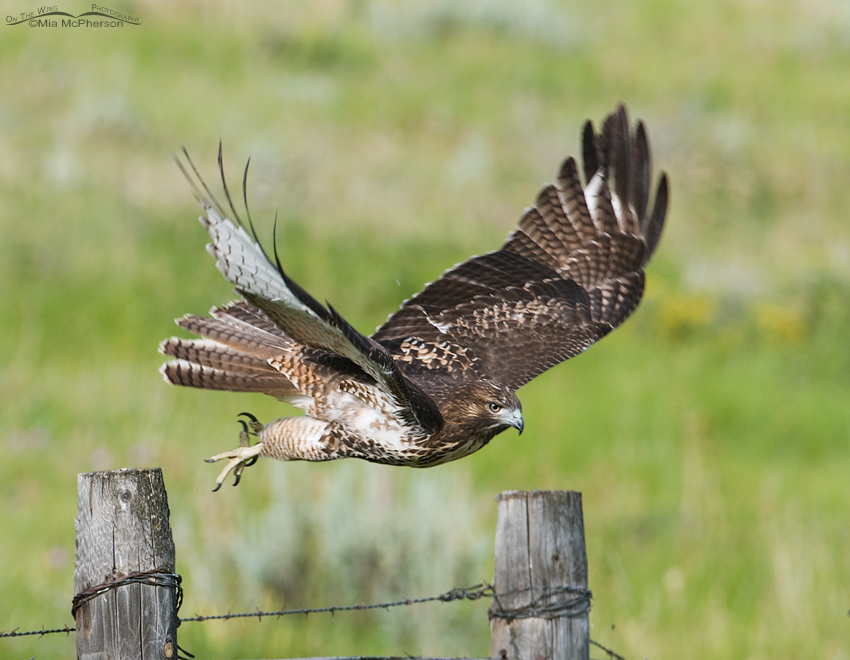 Juvenile Red-tailed Hawk diving for prey