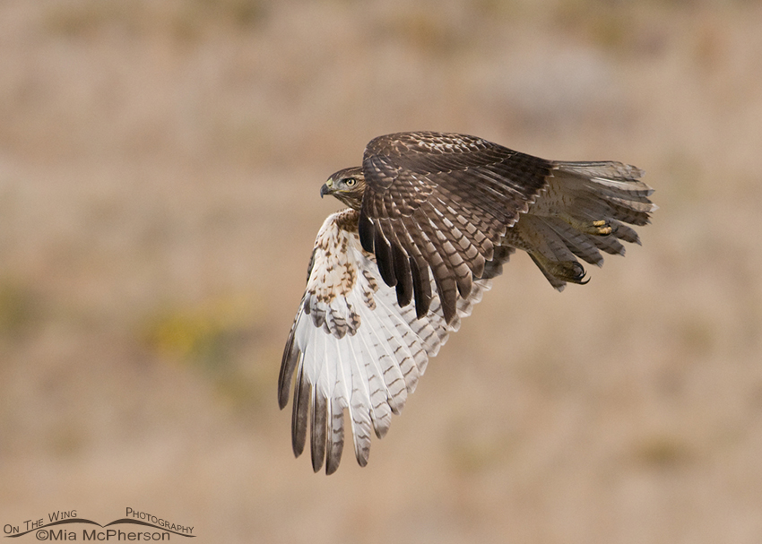 Red-tailed juvenile fly by
