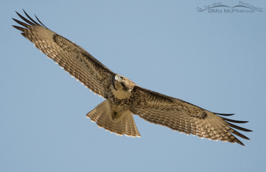 Juvenile Red-tailed Hawk soaring on canyon thermals