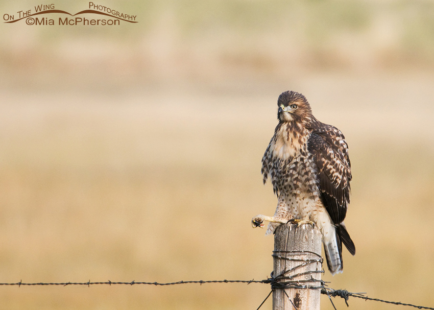 Perched juvenile Red-tailed Hawk