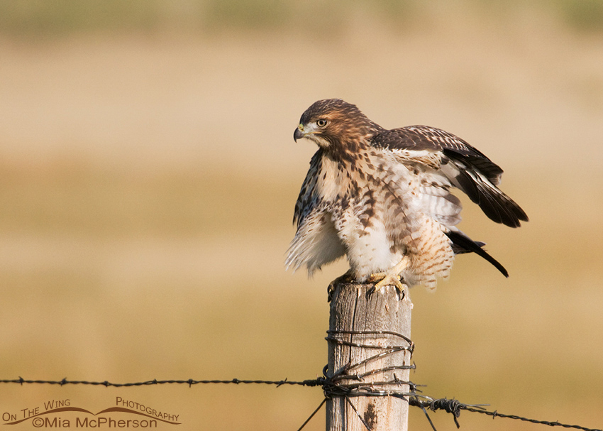 Red-tailed Hawk juvenile shaking