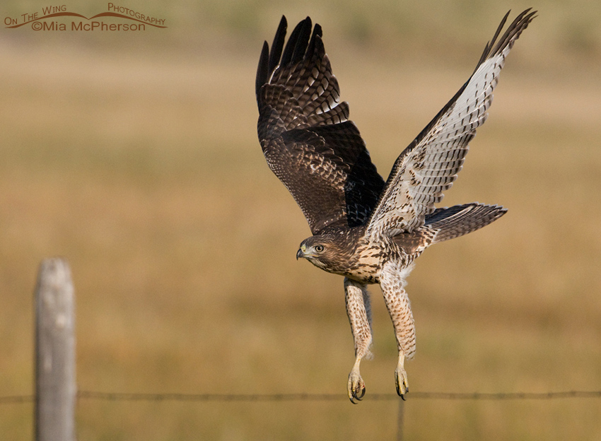 Juvie Red-tailed Hawk right after lift off