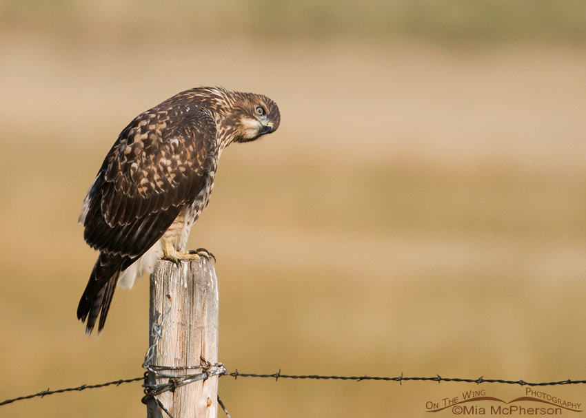 Red-tailed Hawk looking at something in the distance
