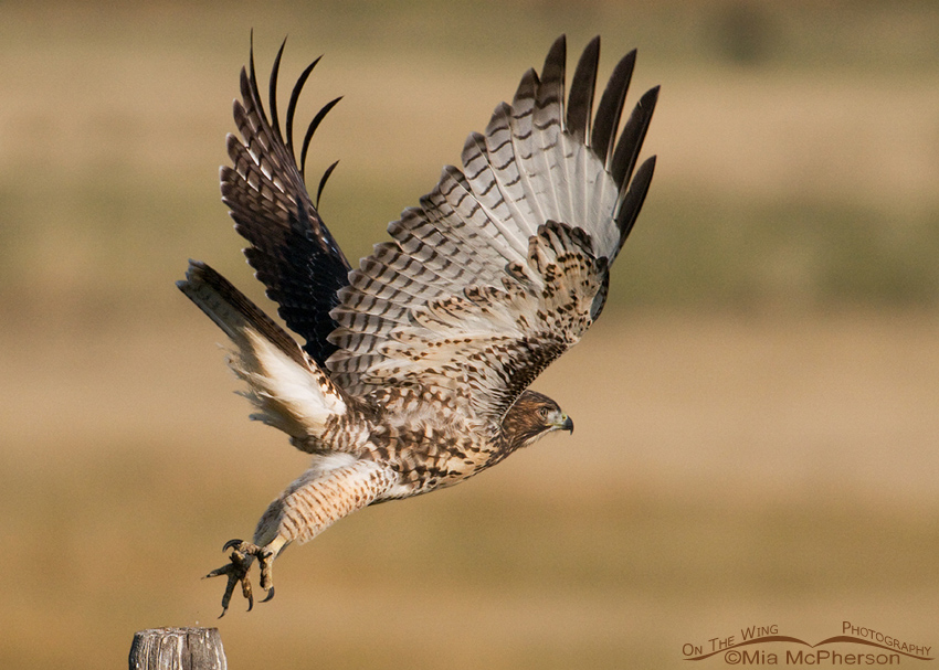 Juvenile Red-tailed Hawk at the moment of lift off