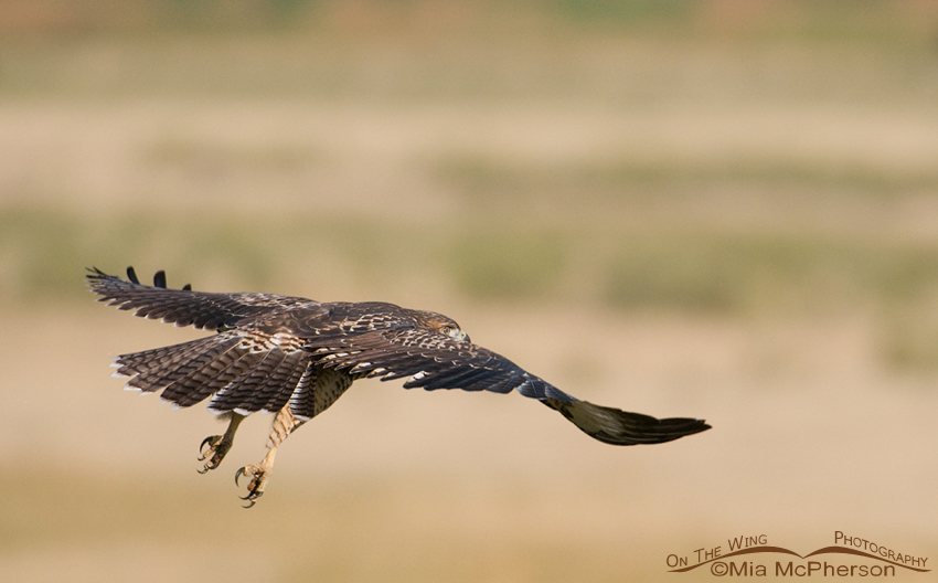 Red-tailed Hawk juvie gliding