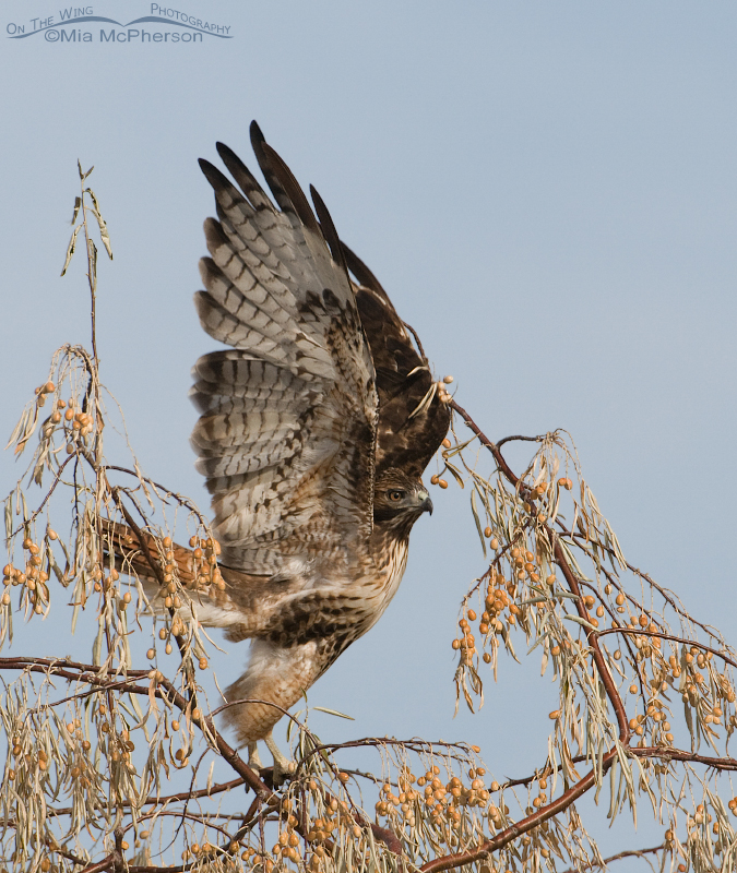 Red-tailed Hawk adult lifting off from a Russian Olive