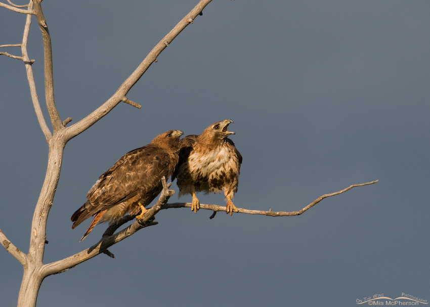 AlertRed-tailed Hawks