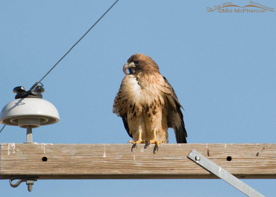 Red-tailed Hawk with Long bill syndrome