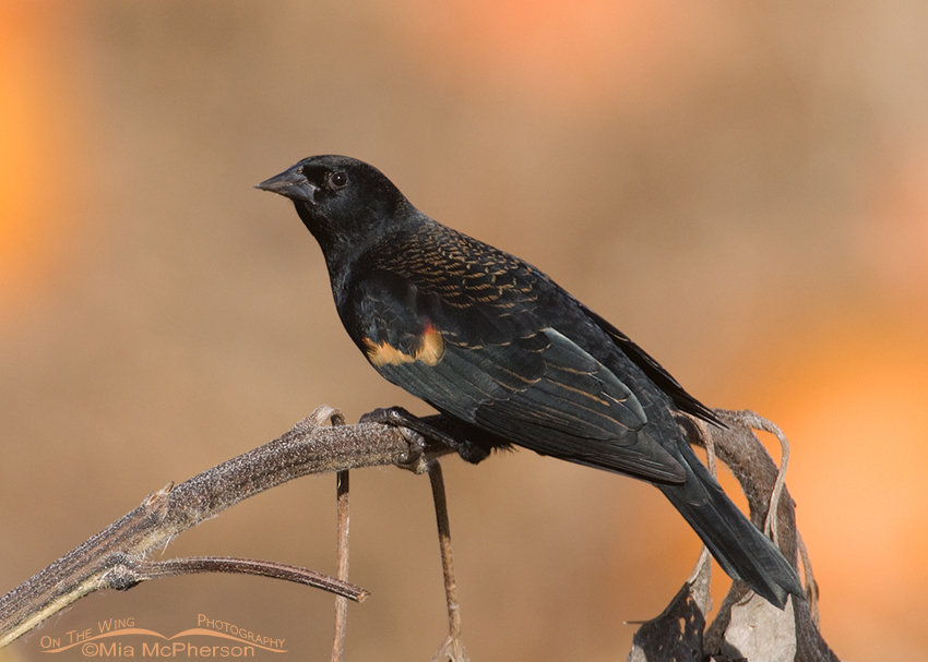 Red-winged Blackbird with a Punkin Patch background