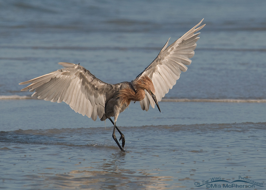 Reddish Egret dancing on the shooreline of the Gulf