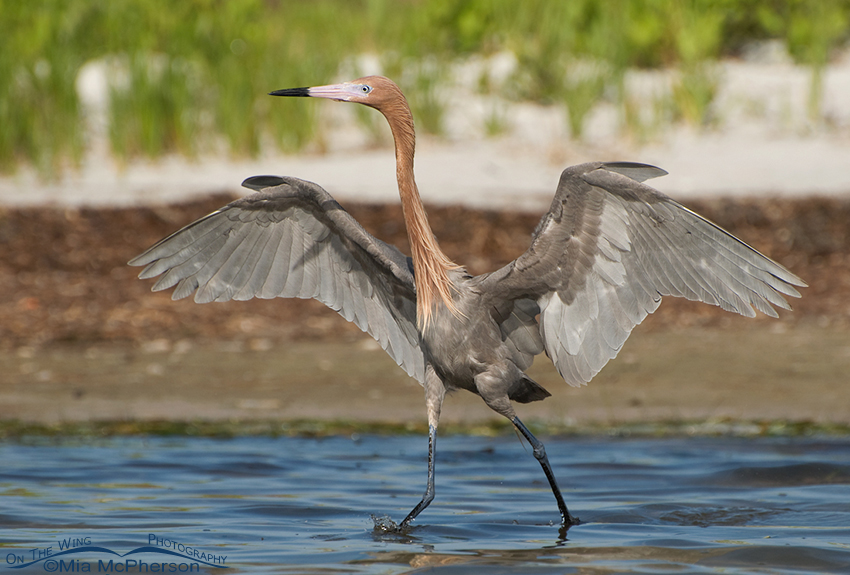 Dancing dark morph Reddish Egret