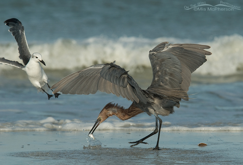Reddish Egret defending its prey from a Laughing Gull