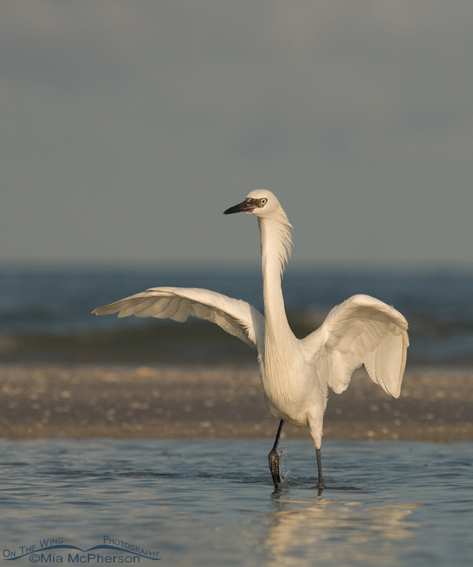 White Morph Reddish Egret hunting ahead of a storm