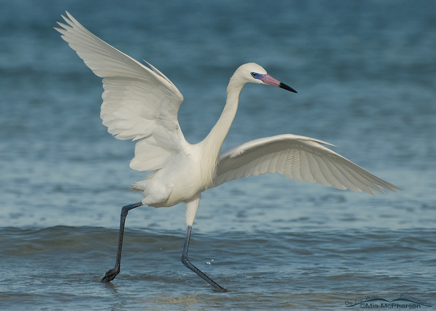 Dancing white morph Reddish Egret