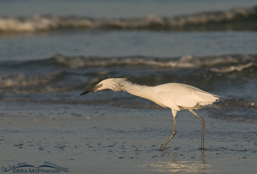 White morph Reddish Egret hunting