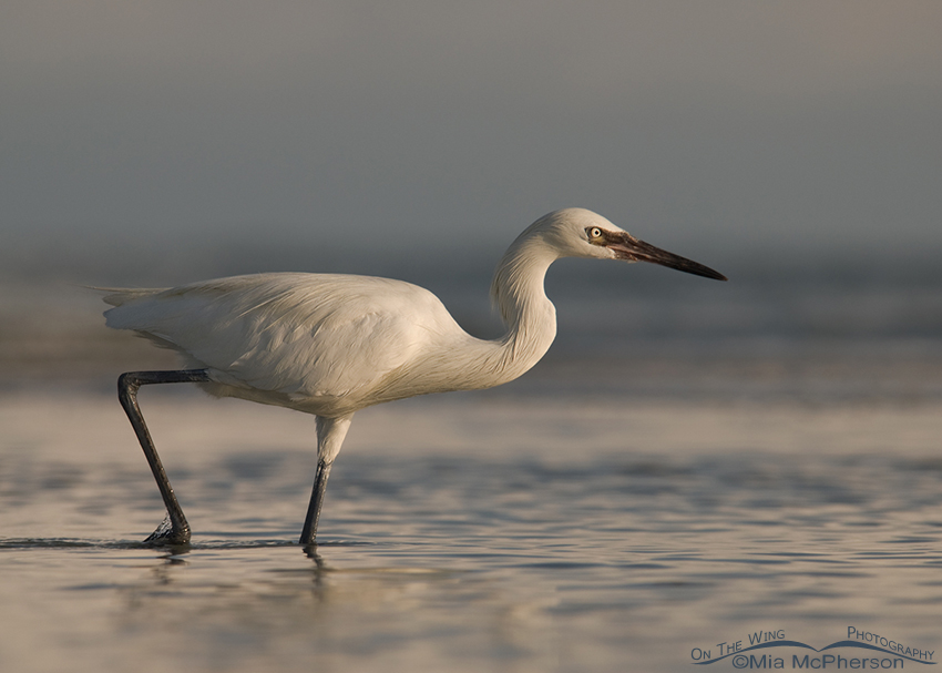 White morph Reddish Egret with a stormy background