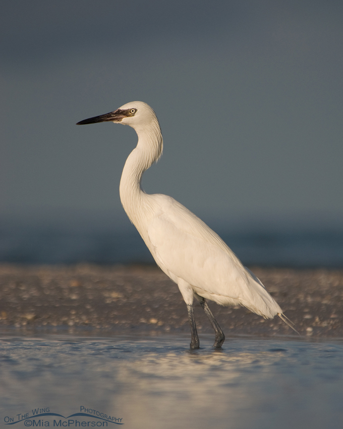 White morph Reddish Egret under stormy skies