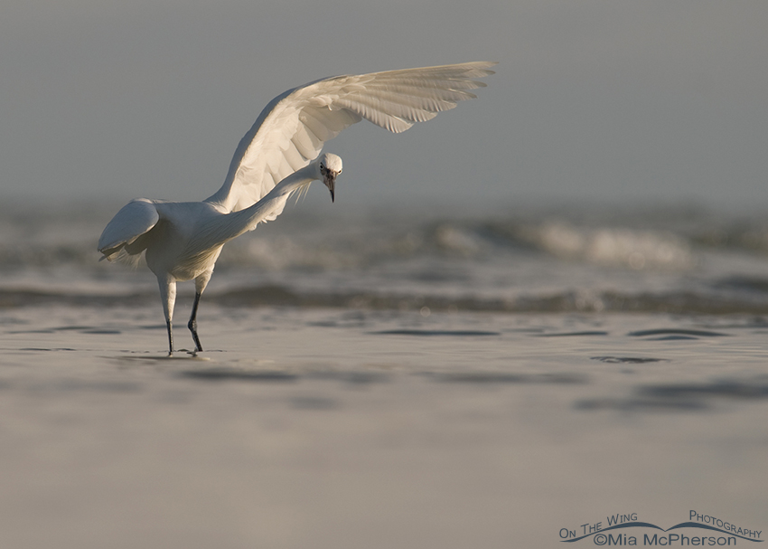White morph Reddish Egret in dramatic light
