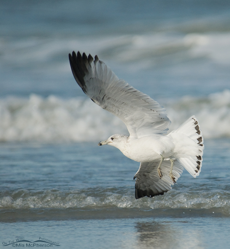 Ring-billed Gull in the wind
