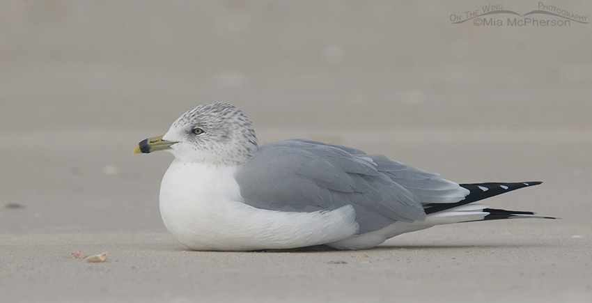 Resting Ring-billed Gull (Larus delawarensis)