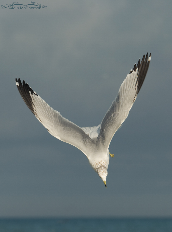 Ring-billed Gull in a dive