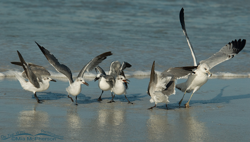 The Ring-billed Gull makes off with the prize